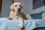 Pies na łóżku