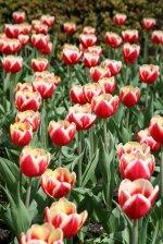 Tulipany Leen Van Der Mark